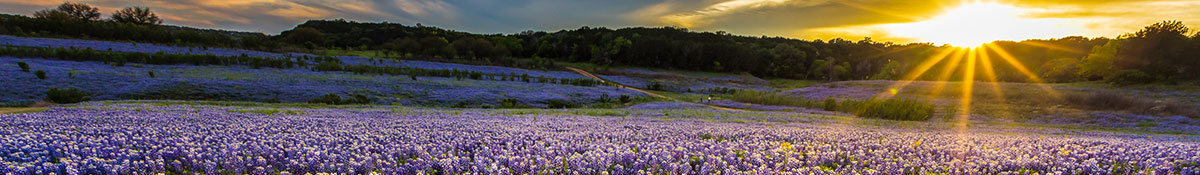 sunset over a field of bluebonnet flowers